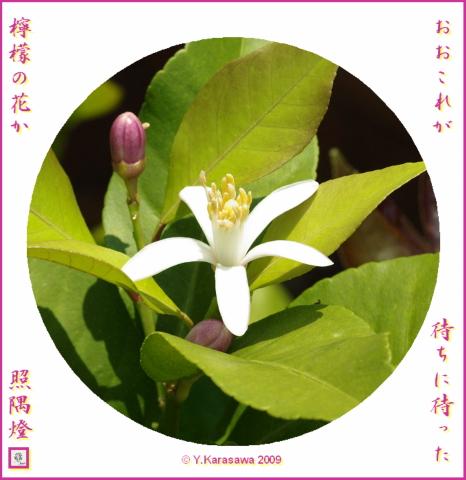 090522レモンの花