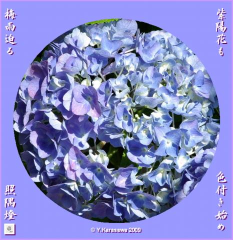 090609我が家の紫陽花