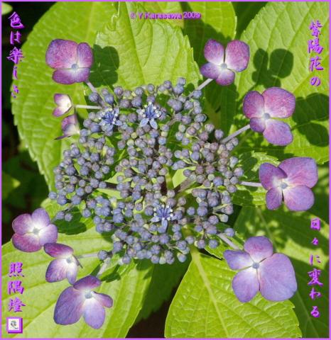 090615我が家の額紫陽花