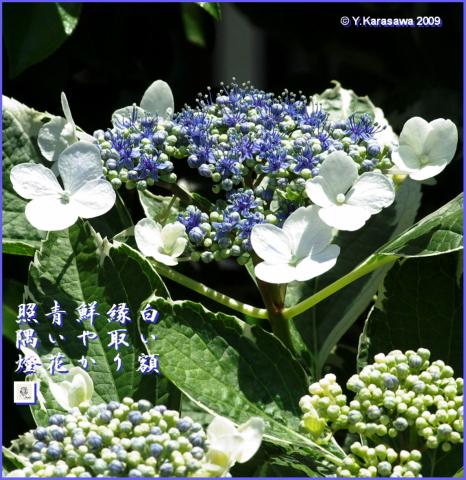 090617白い額紫陽花