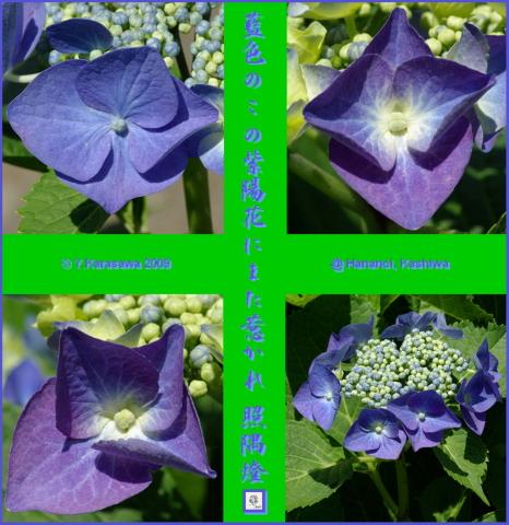 090618藍色額紫陽花