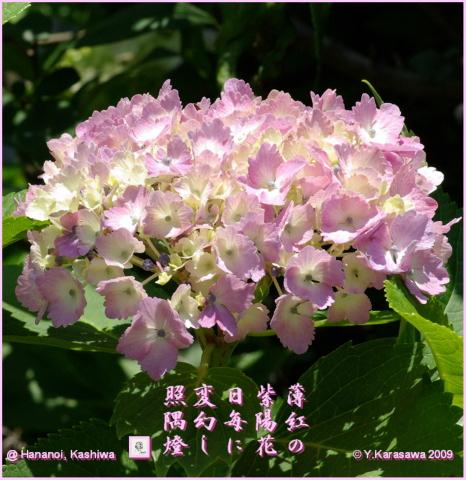 090619薄紅紫陽花