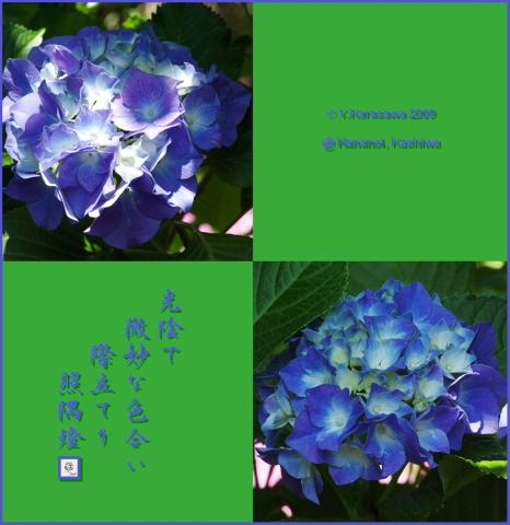 090620紫陽花光陰