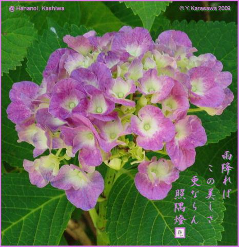 090621赤紫紫陽花