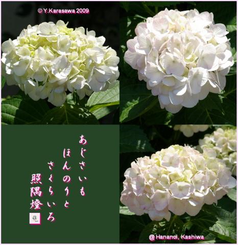 090623桜色紫陽花