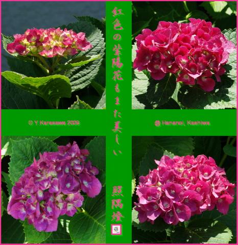 090624紅色紫陽花