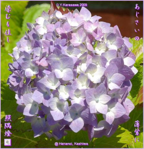 090625薄紫紫陽花