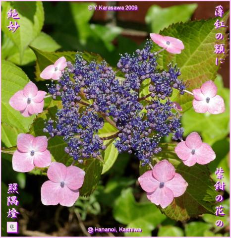 090626薄紅額紫陽花