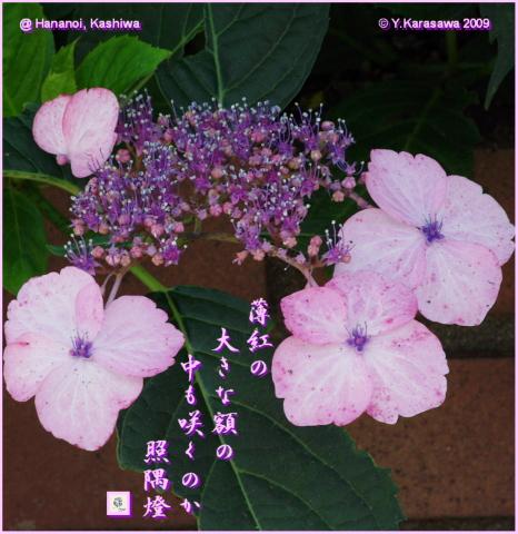 090627薄紅大額紫陽花