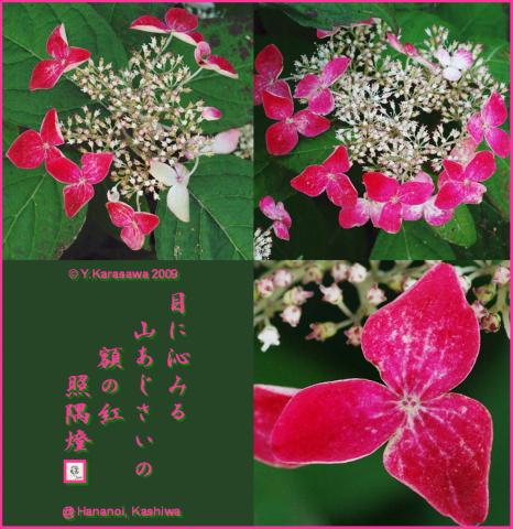 090628山紫陽花