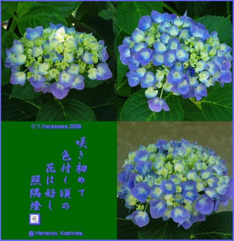 090629青紫紫陽花