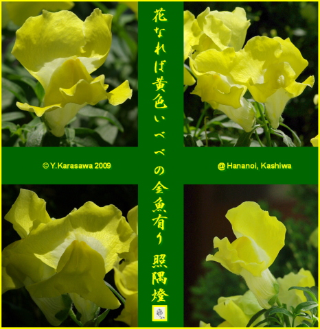090702金魚草黄色