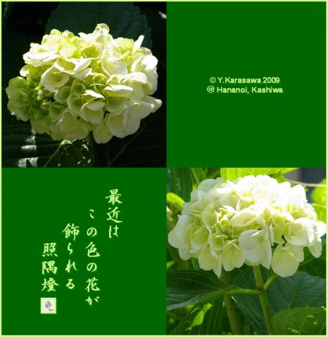 090703紫陽花緑白色