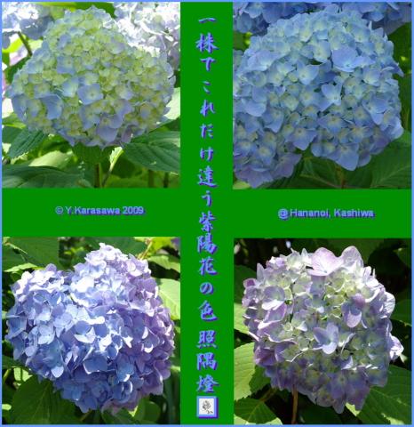 090704紫陽花青紫