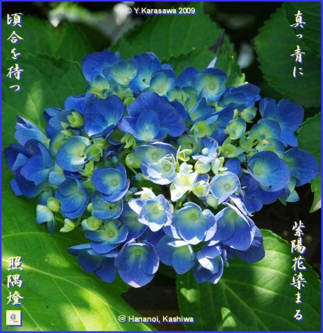 090706紫陽花青
