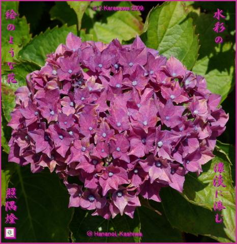 090707紫陽花赤紫