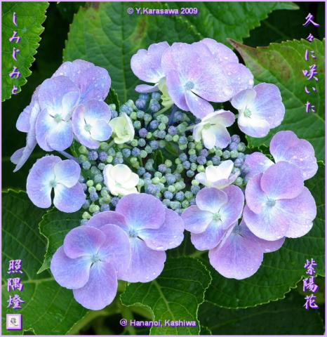 090708我が家の額紫陽花2