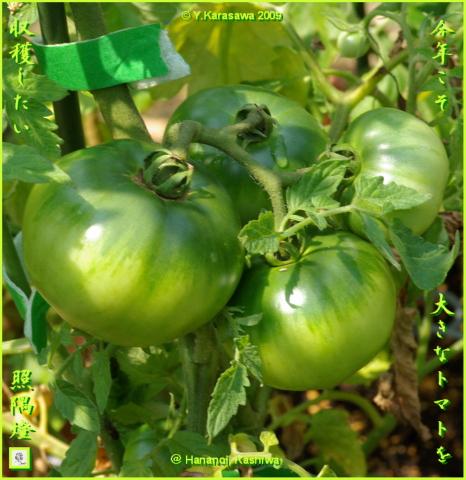 090709青いトマト