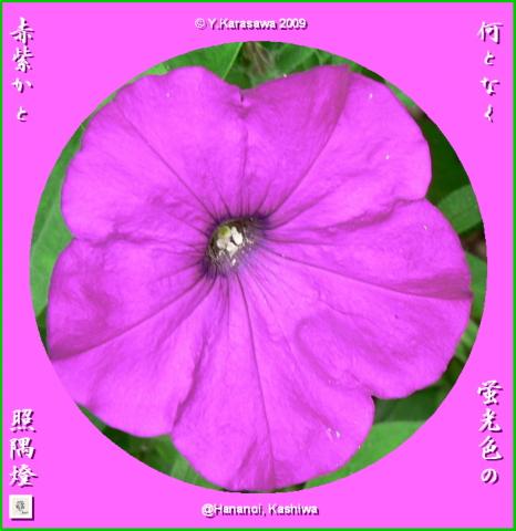 090803ペチュニア赤紫