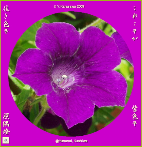 090807ペチュニア紫