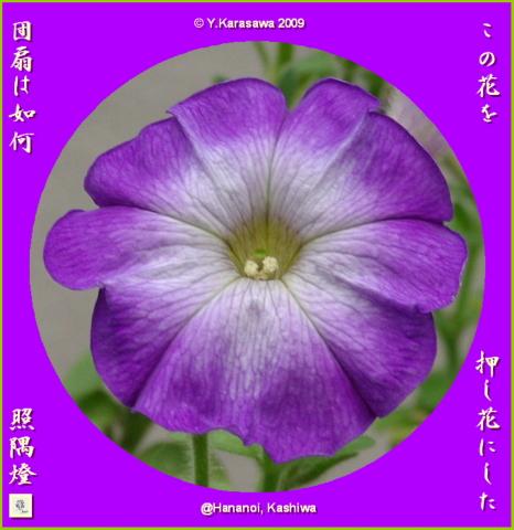 090809ペチュニア紫ぼかし