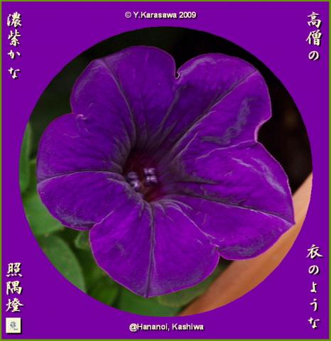 090814ペチュニア濃紫