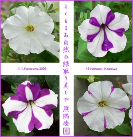 090817ペチュニア白に紫隈取