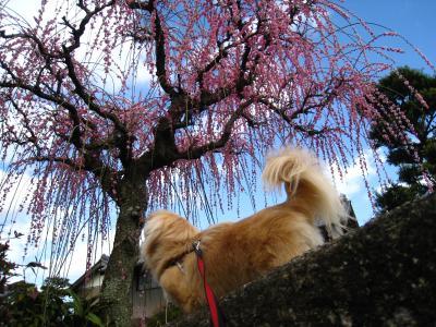 しだれ梅と空とそら。