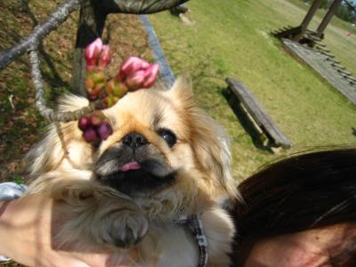 桜みつけた!