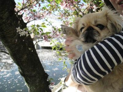しだれ桜です。