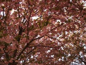 これって桜?2