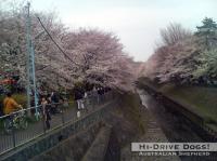 090404sakura2.jpg