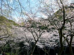 慈眼寺公園桜広場2