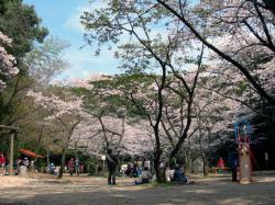 慈眼寺公園桜広場
