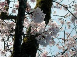 慈眼寺公園桜広場3