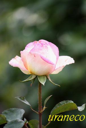 5月11日薔薇園にて3のコピー