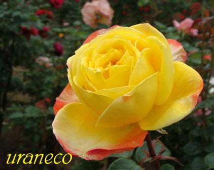 5月11日薔薇黄色とオレンジのコピー