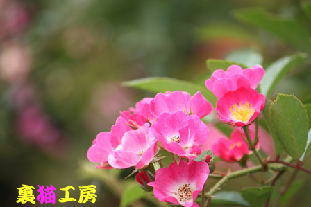 8月7日薔薇カクテル系のコピー