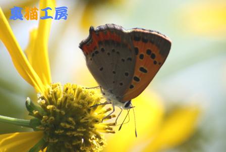 9月2日ハチミツソウとシジミチョウ逆光のコピー