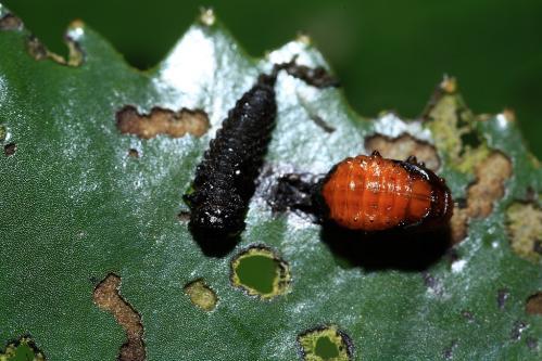 ジュンサイハムシの蛹?