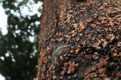 アメリカシロヒトリ幼虫