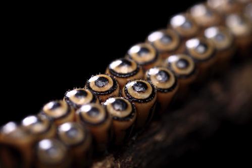 アオクチブトカメムシ卵塊