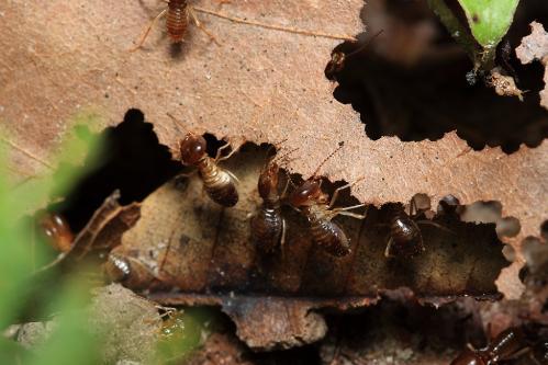 シロアリの一種