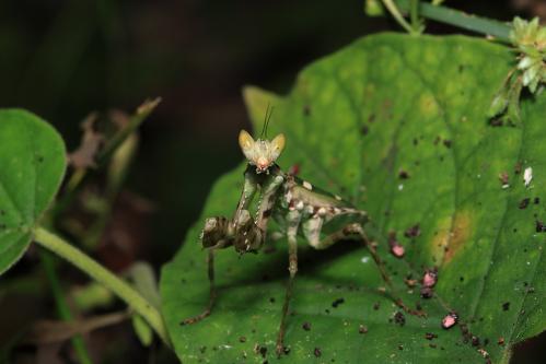 ヒョウモンカマキリの一種