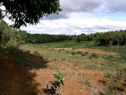 Dambriの茶畑