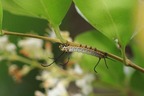イボタガ幼虫