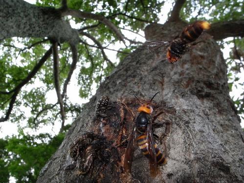 オオスズメバチ&コガタスズメバチ
