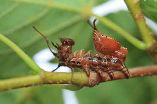 シャチホコガ幼虫