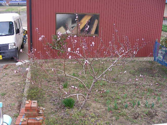 庭の桃2009