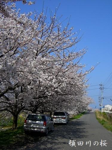 桜並木が延々と